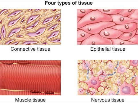 Histology The Four Types of Tissues - YouTube