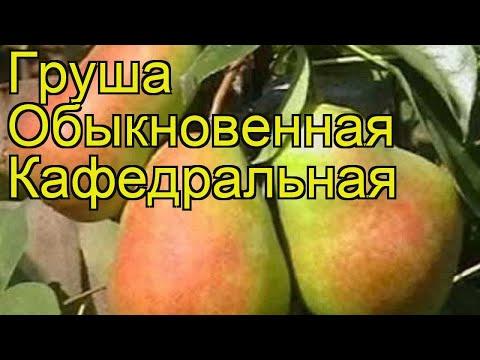 Груша обыкновенная Кафедральная. Краткий обзор, описание характеристик pyrus communis Kafedralnaia