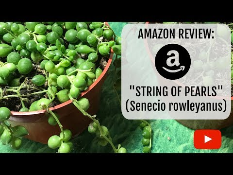 String of Pearls (Senecio Rowleyanus) Amazon Review!!