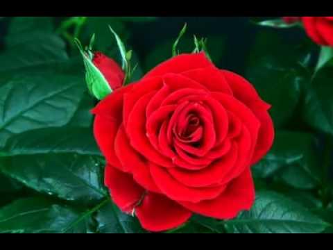 Видео Цветы Распускаются Прикол - revizionrecipes