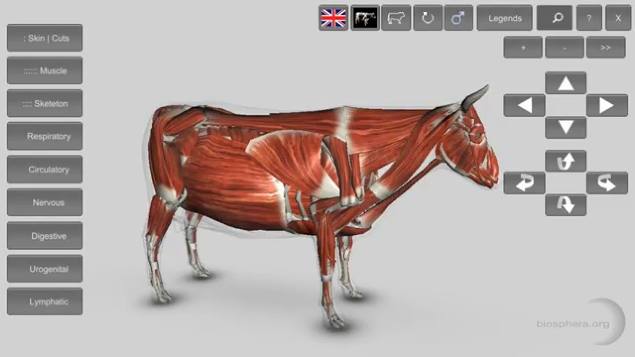 3D Bovine Anatomy Mobile App YouTube