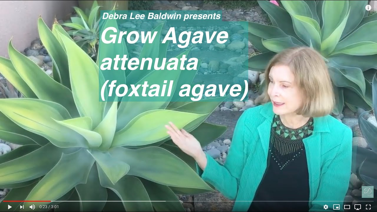 Grow Agave Attenuata Foxtail Agave Youtube