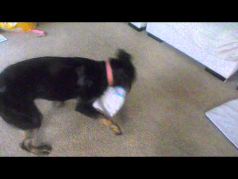 Stella bullmastiff/rottweiler mix playing!