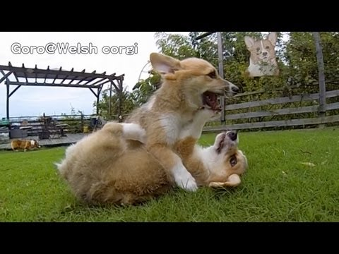 Rocky Puppies / cute corgi puppies on grass / Goro@Welsh corgi channel コーギー子犬