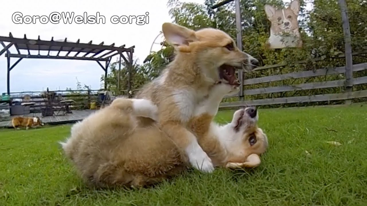 Rocky Puppies Cute Corgi Puppies On Grass GoroWelsh Corgi - These baby corgis running in slow motion are the most hilariously adorable thing in the world