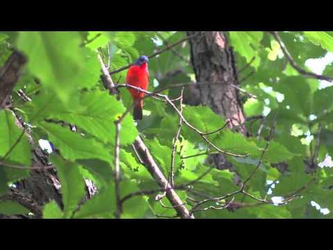 Painted Bunting Song (Chipping Singing Fluttering Feeding)
