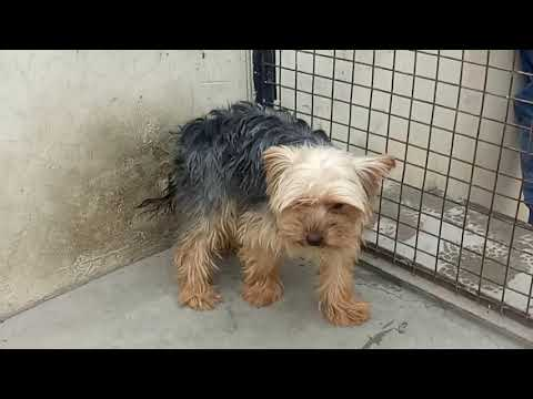 Yorkshire terrier Adult male available in CRG KENNEL