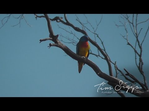 Scarlet Chested  Parrot (Neophema splendida) HD Video clip 1 /1