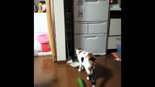 Видео как кошка боится огурца