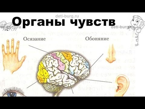 Органы чувств - детская презентация
