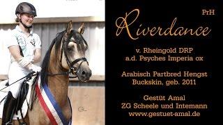 Riverdance (Rheingold x Psyches Imperia) - Gestüt Amal