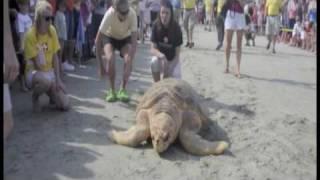 Unprecedented Sea Turtle Release .m4v