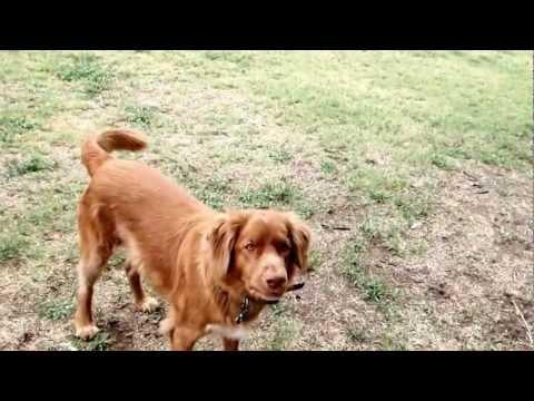 Nova Scotia Duck Tolling Retriever dog tricks