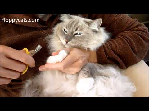 How to Cut Cat Claws - Ragdoll Cat Trigg Shows How It's Done - ねこ - ラグドール - Floppycats