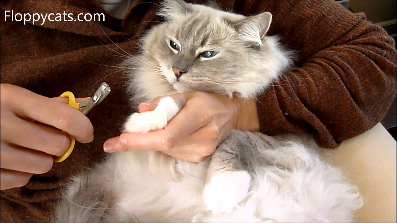 How to Cut Cat Claws Ragdoll Cat Trigg Shows How It s Done