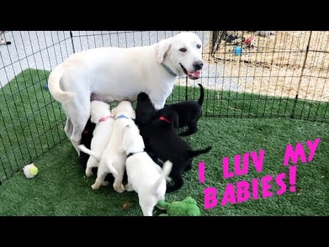 LABRADOR DAISY FEEDS HER SIX WEEK OLD PUPPIES!