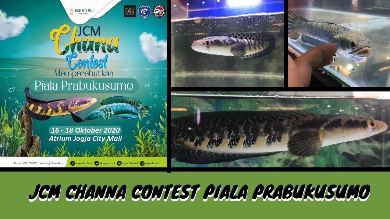 Download JCM CHANNA CONTEST PIALA PRABUKUSUMO (KONTES CHANNA MARU & CHANNA PULCHRA)