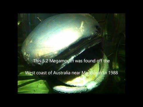 Rare Deepwater Megamouth Shark