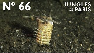 Hidden Killer: The Bobbit Worm (Anilao, Philippines)