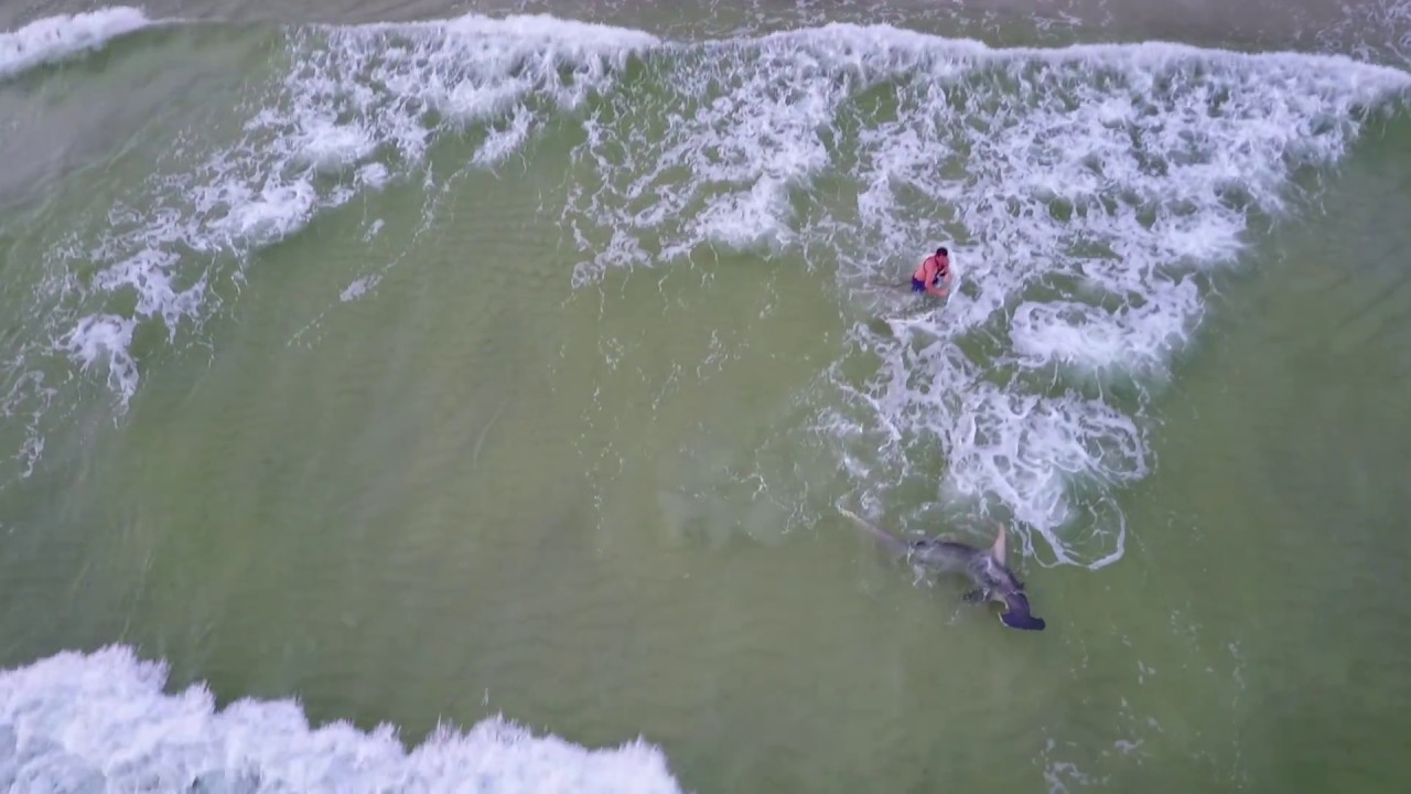Monster hammerhead shark caught fishing from beach for Shark fishing panama city beach