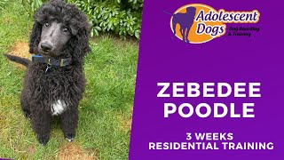 Zebedee the Standard Poodle Puppy  3 Weeks Residential Dog Training