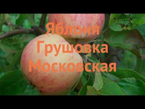 Яблоня обыкновенная Грушовка Московская 🌿 обзор: как сажать, саженцы яблони Грушовка Московская