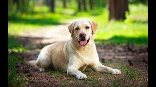 "Хочу собаку. Лабрадор ретривер | Телеканал ""Мама"""