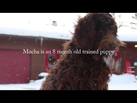 Fully Trained Labradoodles Available - Mocha