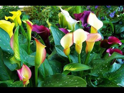 Cómo Cultivar Cartuchos De Colores Callas Tvagro Por Juan
