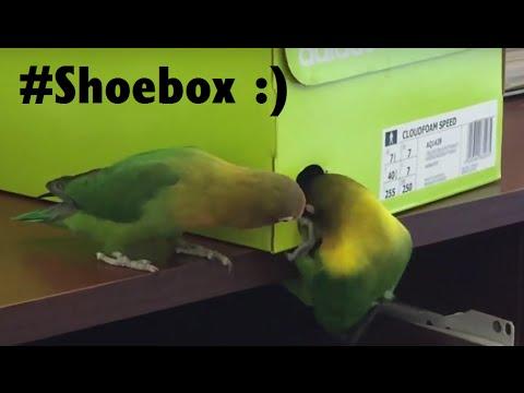 Lovebird makes herself a nest box from shoe box