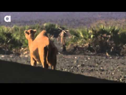 Верблюды захватывают Австралию?