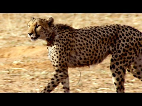 Incredible: A Cheetah Sprints to Catch a Springbok