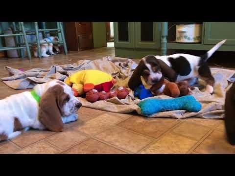 Basset Hound Puppies playing