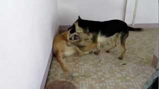 German Sheperd (zuki)plays With Golden Retriever(hero)