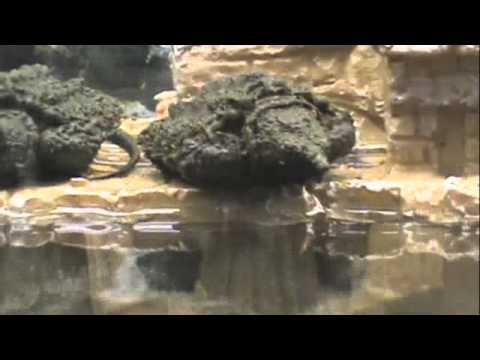 Unboxing alligator snapping turtle.