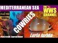 Sea shells from France : Luria lurida seashell cowrie from the Mediterranean Sea