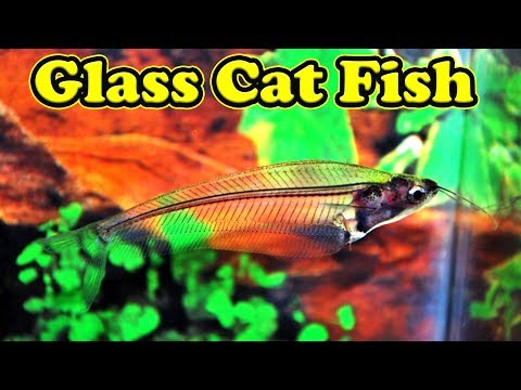 Glass Catfish இது பத்தி தெரியுமா?... Food, Communal Fish, Temperature And More / Fish Aquarium Tamil