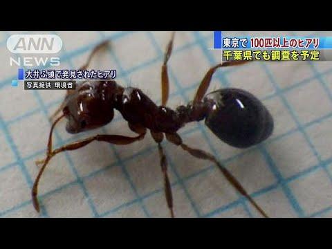 ヒアリが東京で100匹見つかる!