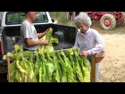Stringing (looping) flue tobacco in Virginia