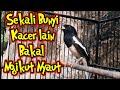 Kacer Gacor Isian Mewah Bikin Kacer Lain Langsung Nyaut  Mp3 - Mp4 Download