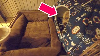 「おやすみ」と言った後、小屋の扉が開いたままでも犬は寝るのか?【トイプードル】