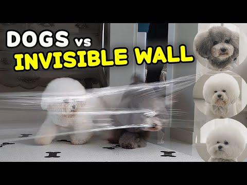 【강아지투명벽】 Bichon vs Poodle! 누가 누가 잘하나?
