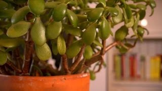 Propagating Jade Plants | At Home With P. Allen Smith