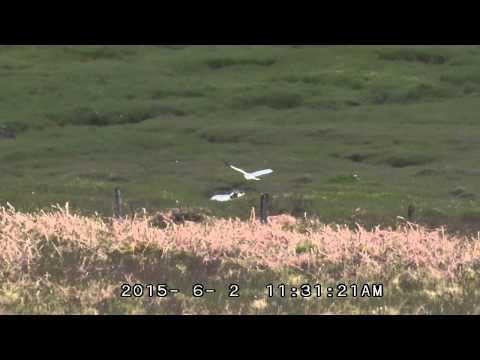 Hen Harrier   Isle of Mull