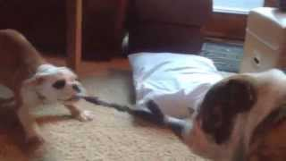 Bulldog Puppy Takes On More Than He Can Chew!