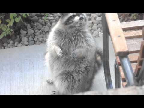 Rabid Raccoon