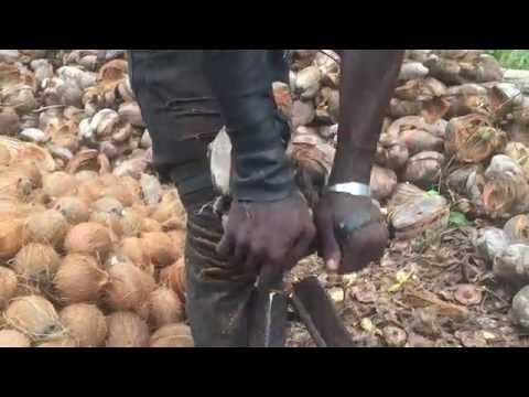 De-Husking Coconuts in Plantation