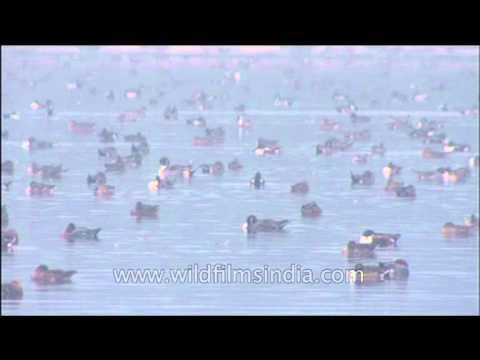 Wild waterfowl crowd around on water body in Uttar Pradesh