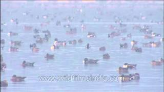 Wild waterfowl crowd around on water body in Uttar Pradesh