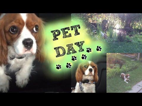 Pet Day Vlog | Cavalier King Charles Spaniel | Herky the Cavalier
